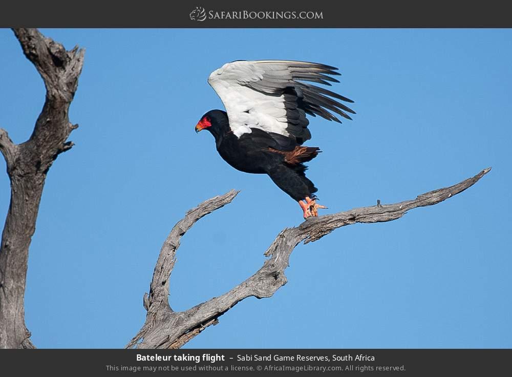 Bateleur taking flight in Sabi Sand Game Reserves, South Africa