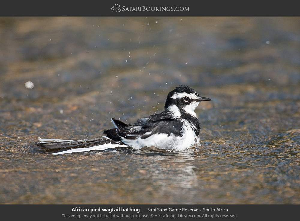 African pied wagtail bathing in Sabi Sand Game Reserves, South Africa