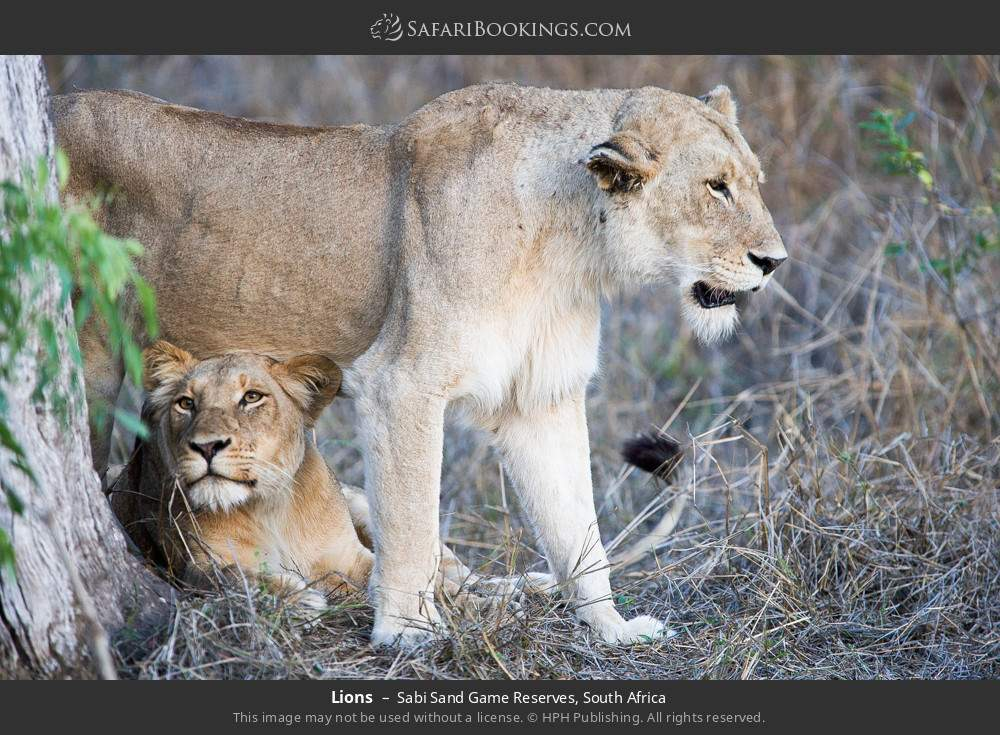 Lions in Sabi Sand Game Reserves, South Africa