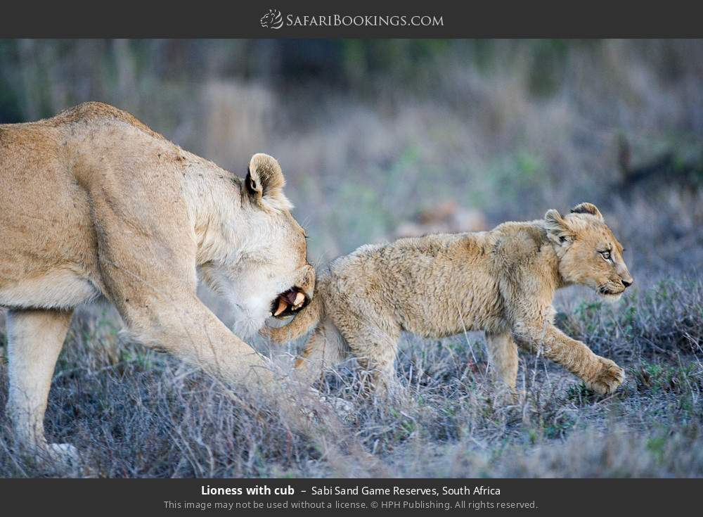 Lioness with cub in Sabi Sand Game Reserves, South Africa