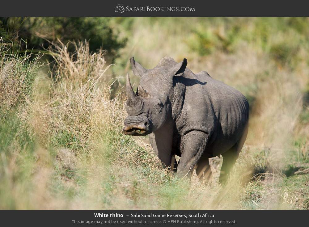 White rhino in Sabi Sand Game Reserves, South Africa