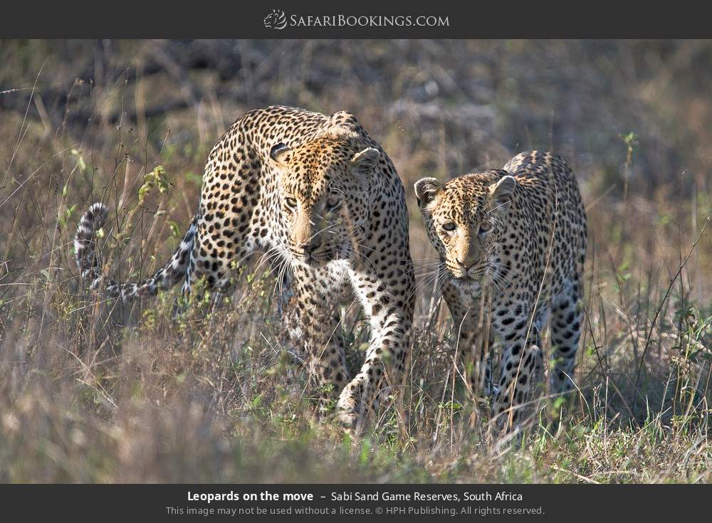 Leopards on the move in Sabi Sand Game Reserves, South Africa