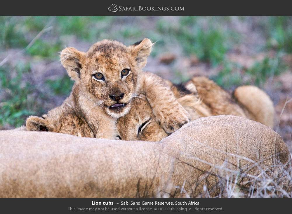 Lion cubs in Sabi Sand Game Reserves, South Africa