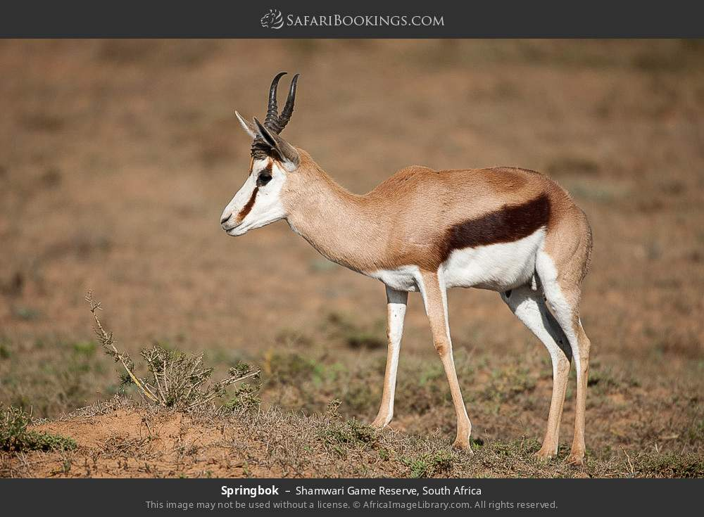 Springbok in Shamwari Game Reserve, South Africa