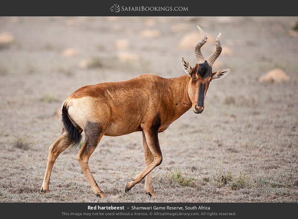 Red hartebeest in Shamwari Game Reserve, South Africa