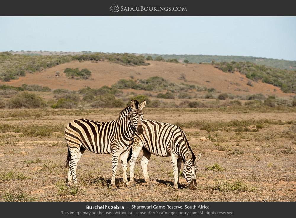 Burchell's zebra in Shamwari Game Reserve, South Africa