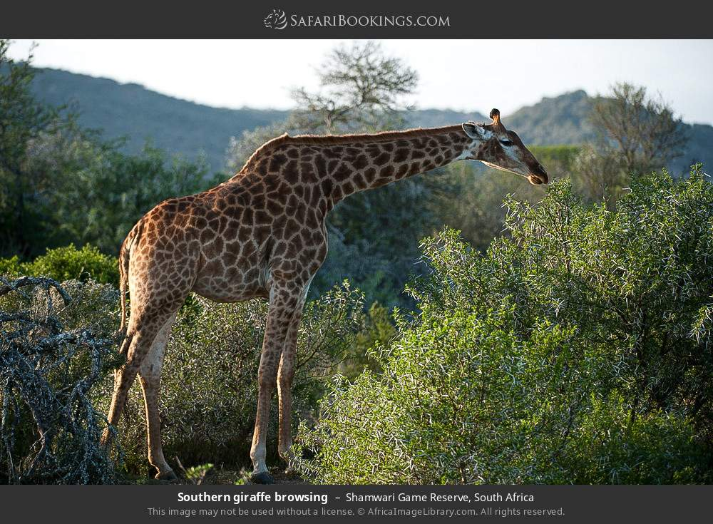Southern giraffe browsing in Shamwari Game Reserve, South Africa
