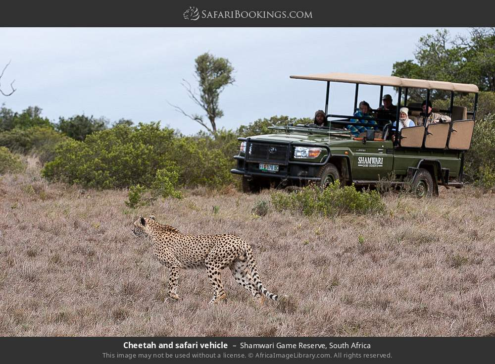 Cheetah and safari vehicle in Shamwari Game Reserve, South Africa