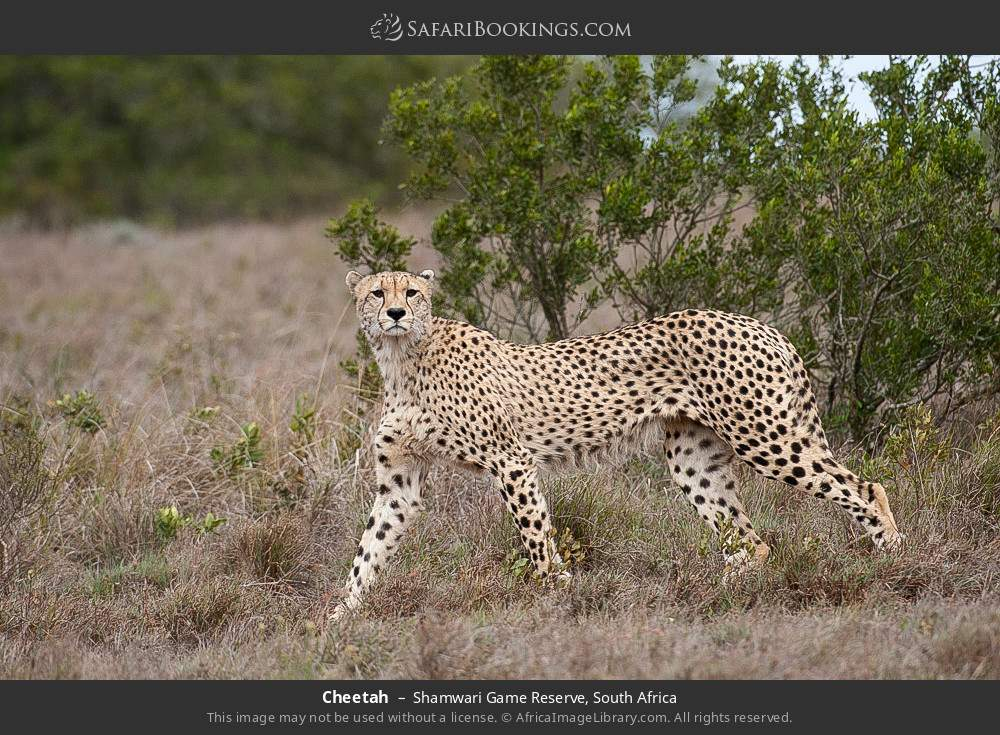 Cheetah in Shamwari Game Reserve, South Africa