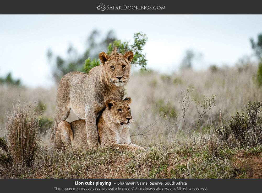 Lion cubs playing in Shamwari Game Reserve, South Africa