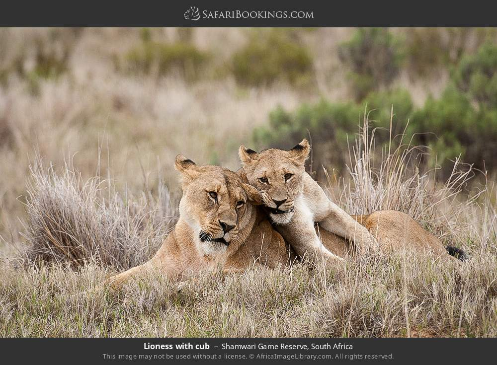 Lioness with cub in Shamwari Game Reserve, South Africa