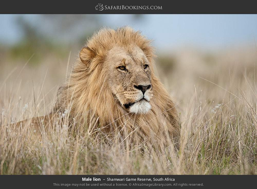Male lion in Shamwari Game Reserve, South Africa