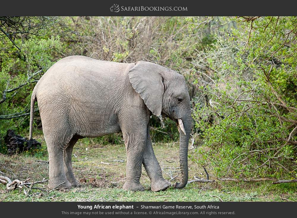 Young African elephant in Shamwari Game Reserve, South Africa