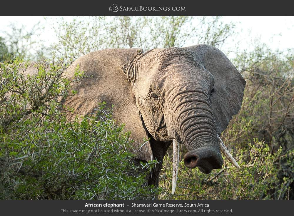 African elephant in Shamwari Game Reserve, South Africa