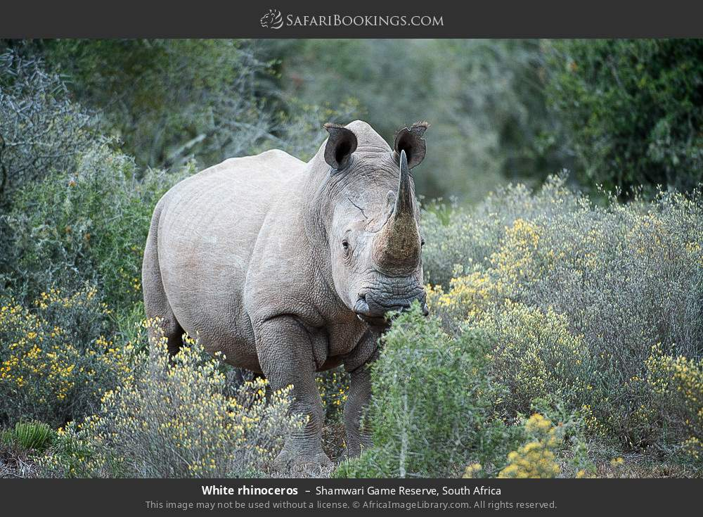 White rhinoceros in Shamwari Game Reserve, South Africa