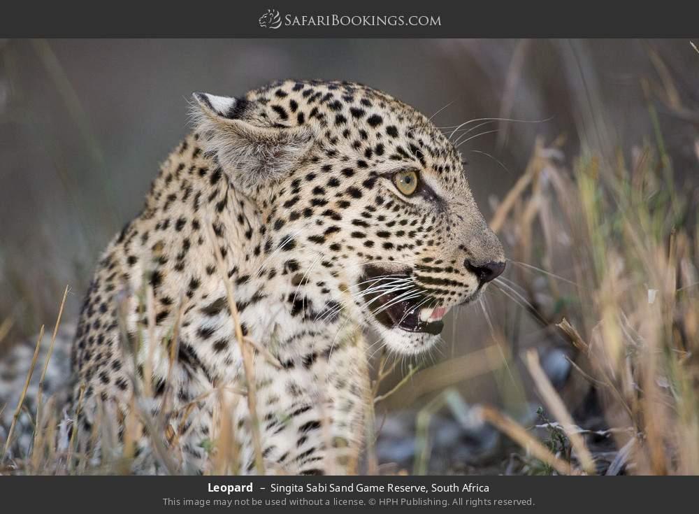 Leopard in Singita Sabi Sand Game Reserve, South Africa
