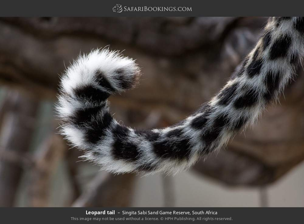 Leopard tail in Singita Sabi Sand Game Reserve, South Africa