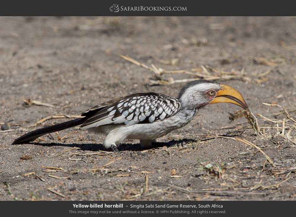 Yellow-billed hornbill in Singita Sabi Sand Game Reserve, South Africa