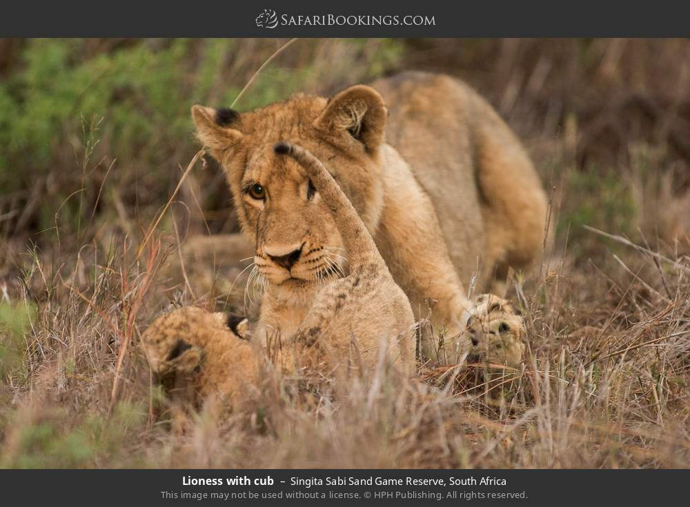 Lioness with cub in Singita Sabi Sand Game Reserve, South Africa