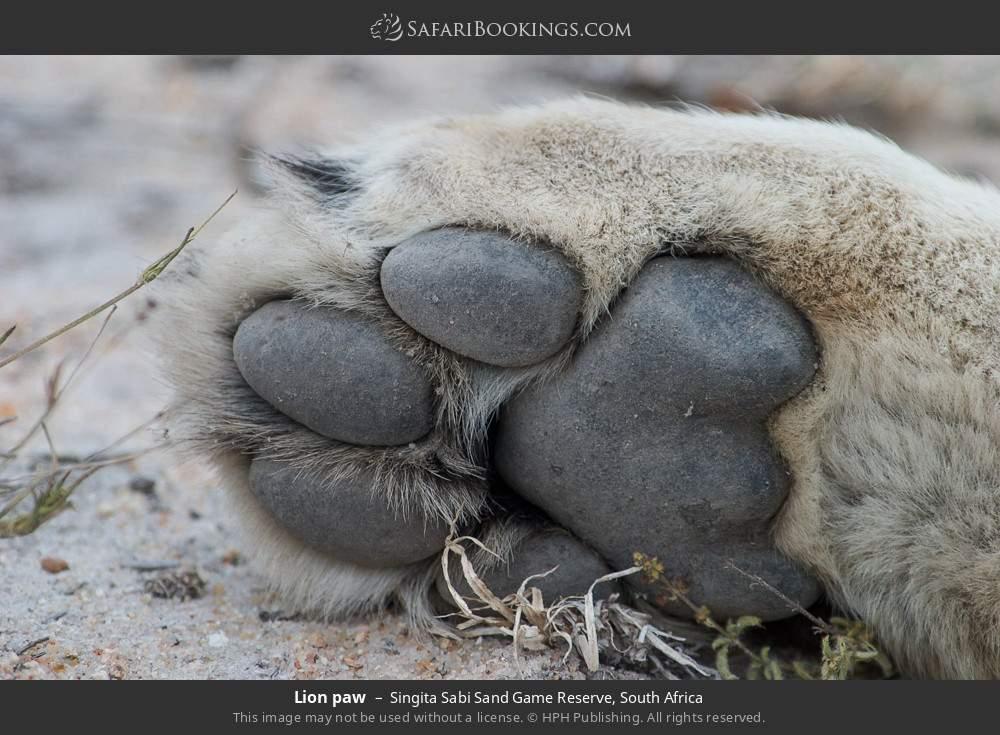 Lion paw in Singita Sabi Sand Game Reserve, South Africa