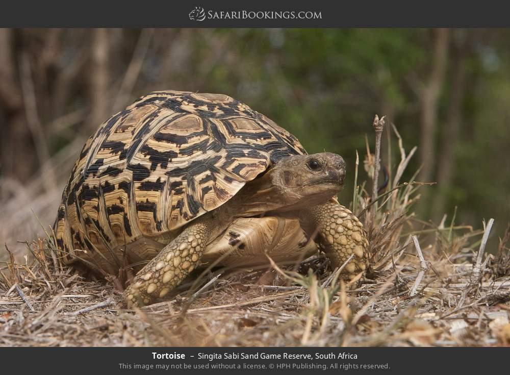 Tortoise in Singita Sabi Sand Game Reserve, South Africa