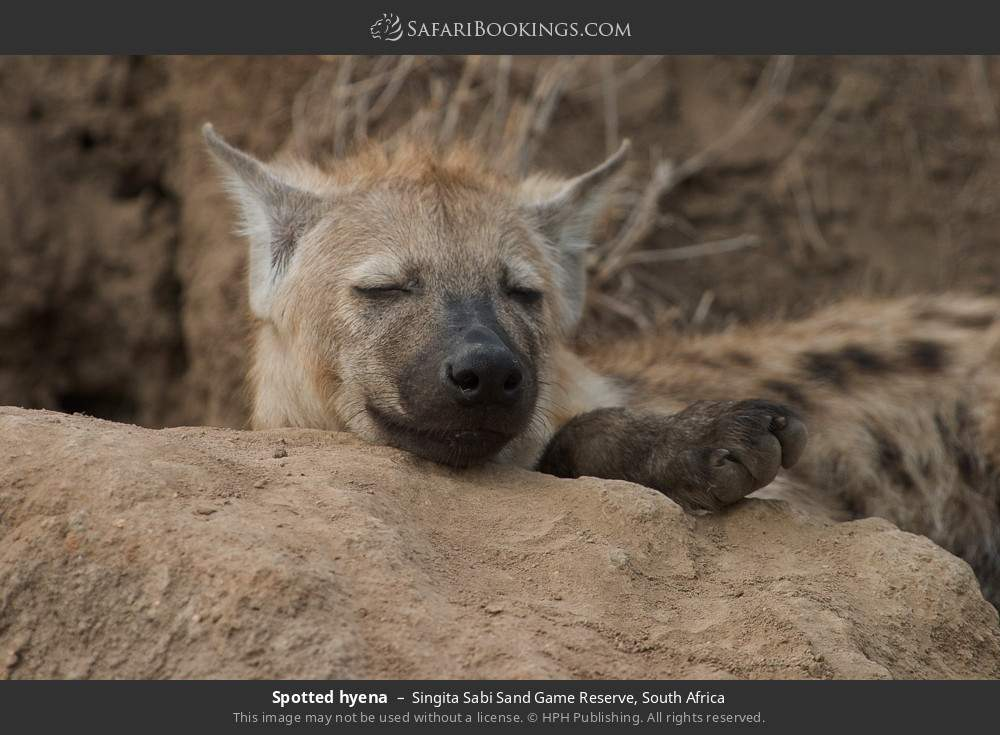 Spotted hyena in Singita Sabi Sand Game Reserve, South Africa