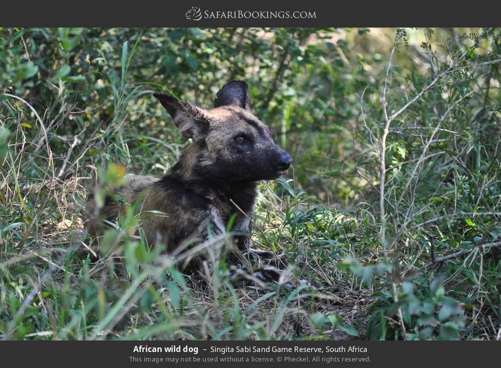 African wild dog in Singita Sabi Sand Game Reserve, South Africa