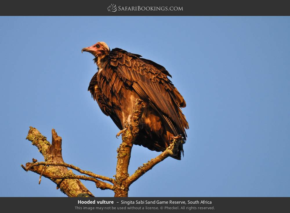 Hooded vulture in Singita Sabi Sand Game Reserve, South Africa