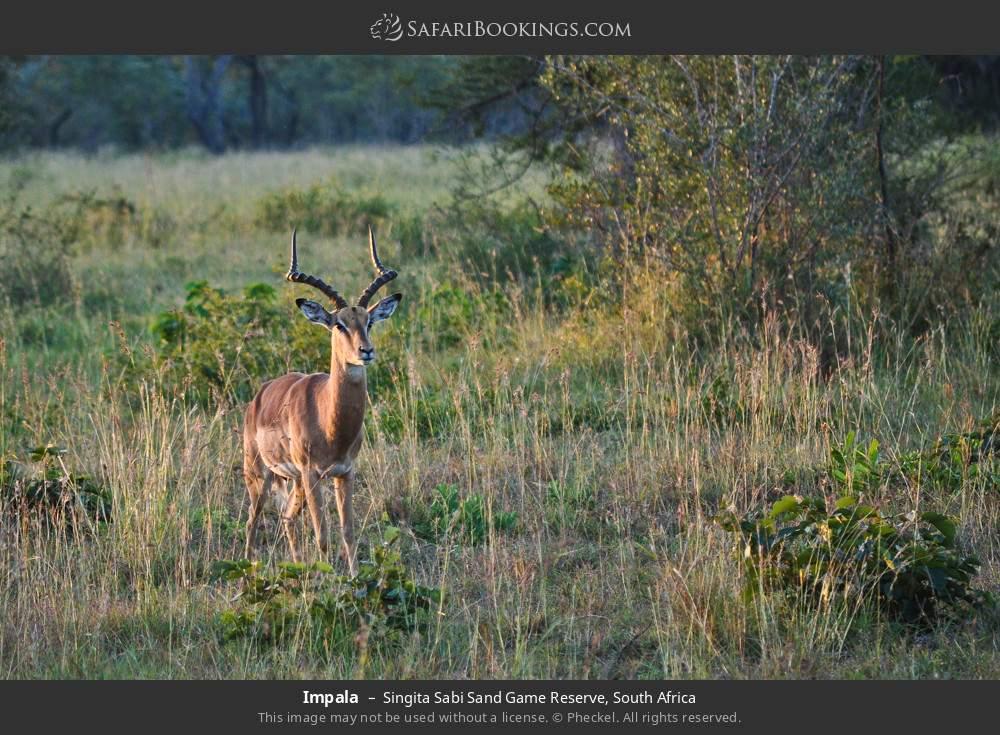 Impala in Singita Sabi Sand Game Reserve, South Africa