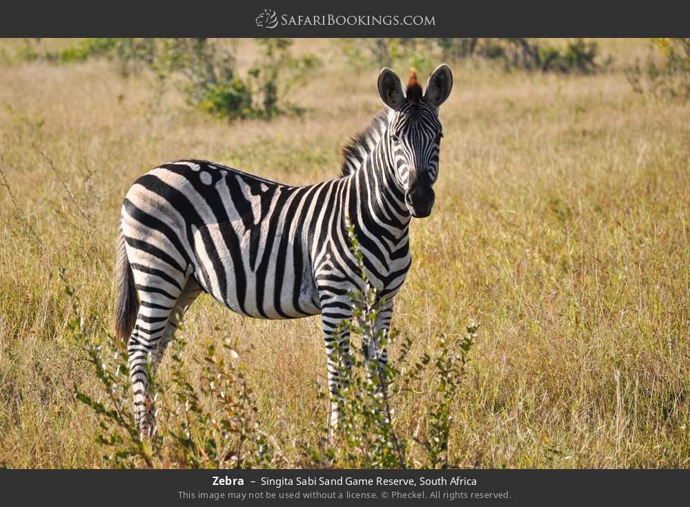Zebra in Singita Sabi Sand Game Reserve, South Africa