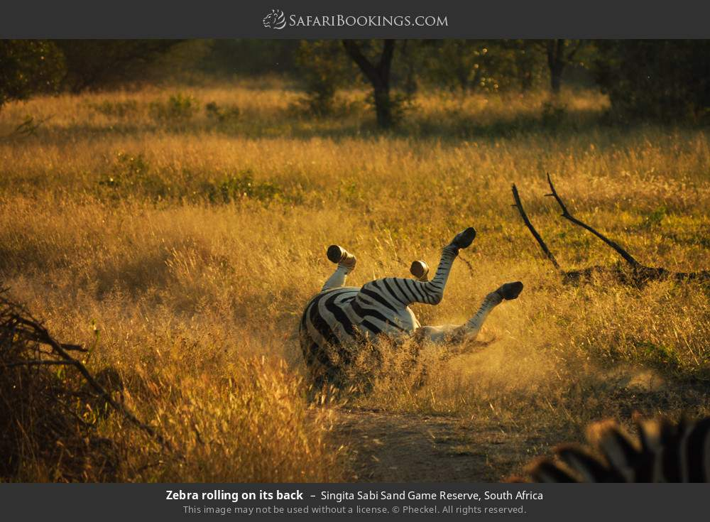 Zebra rolling on its back in Singita Sabi Sand Game Reserve, South Africa