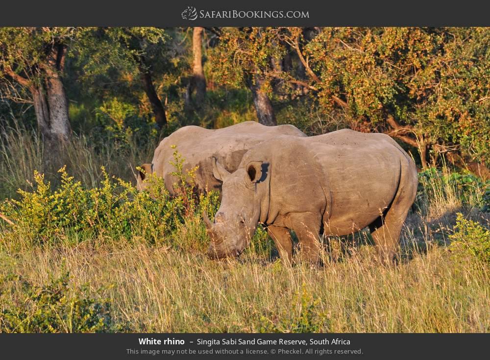 White rhino in Singita Sabi Sand Game Reserve, South Africa