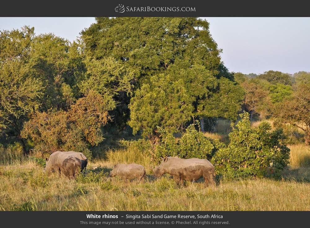 White rhinos in Singita Sabi Sand Game Reserve, South Africa