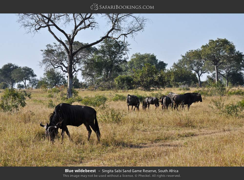 Blue wildebeest in Singita Sabi Sand Game Reserve, South Africa