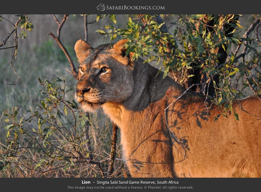 Lion in Singita Sabi Sand Game Reserve, South Africa