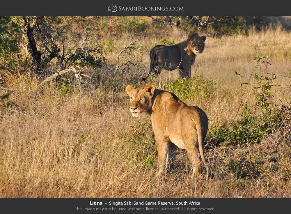 Lions in Singita Sabi Sand Game Reserve, South Africa
