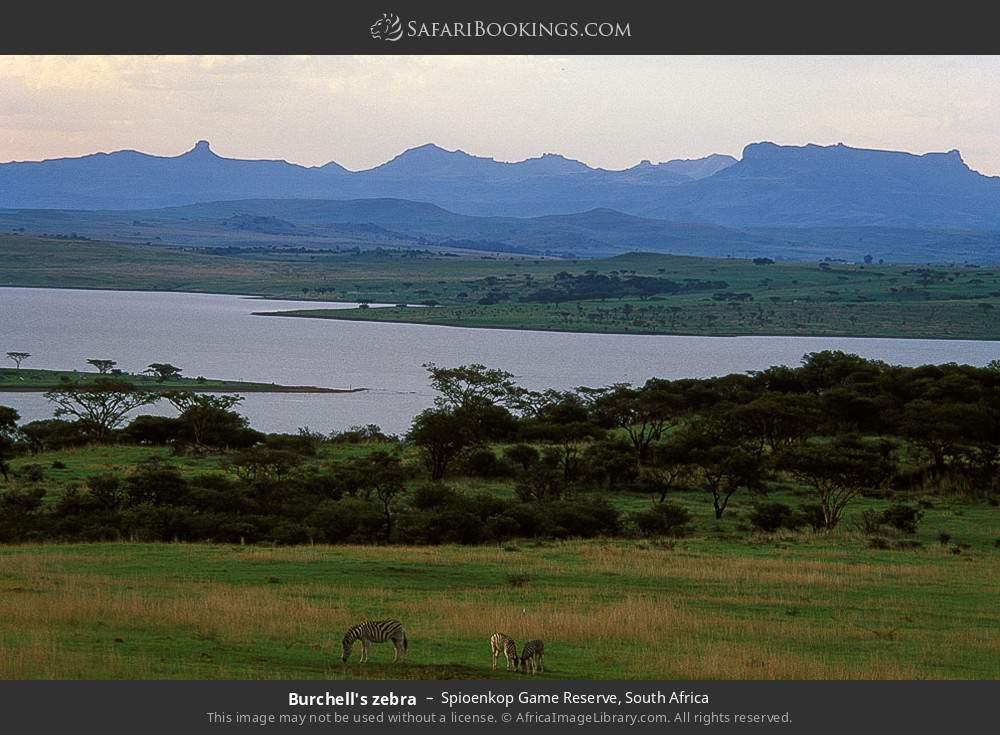 Burchell's zebra in Spioenkop Game Reserve, South Africa