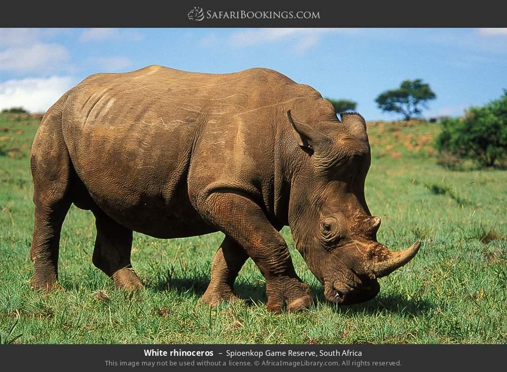 White rhinoceros in Spioenkop Game Reserve, South Africa