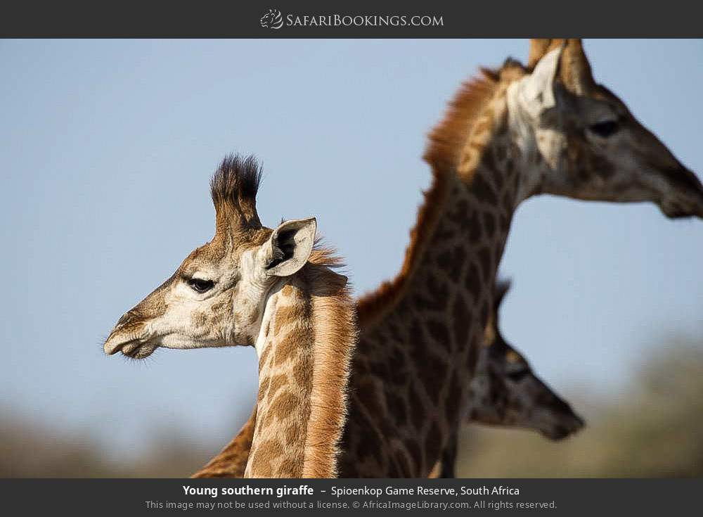 Young southern giraffe in Spioenkop Game Reserve, South Africa