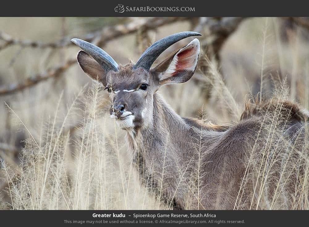 Greater kudu in Spioenkop Game Reserve, South Africa