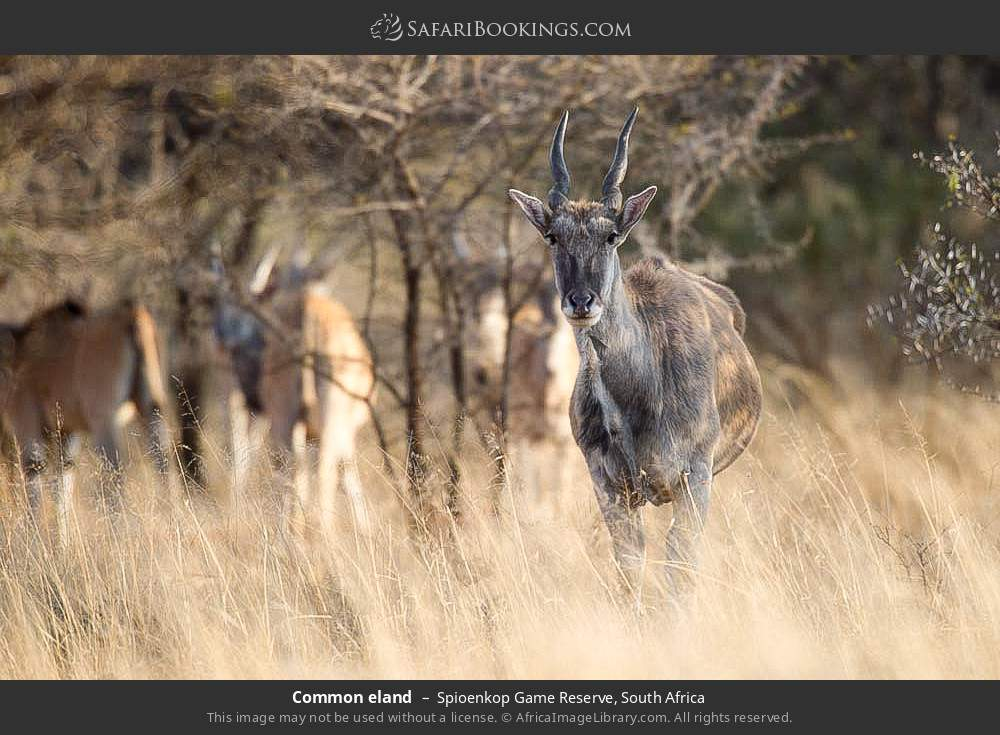 Common eland in Spioenkop Game Reserve, South Africa
