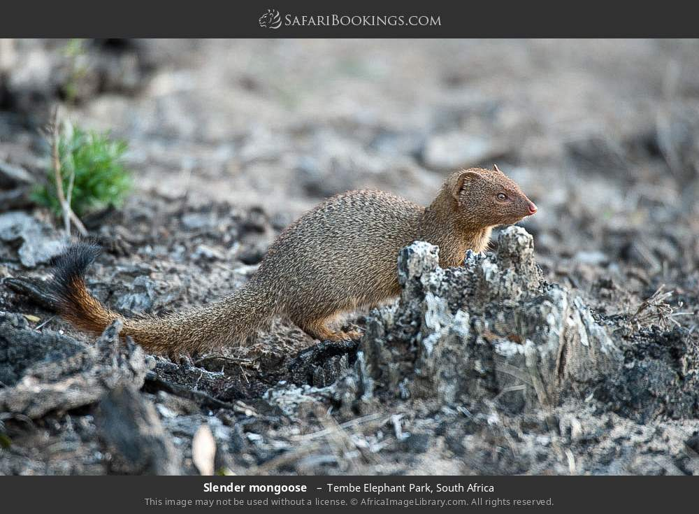 Slender mongoose  in Tembe Elephant Park, South Africa