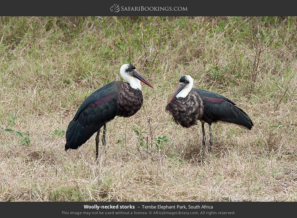 Wooly-necked storks in Tembe Elephant Park, South Africa