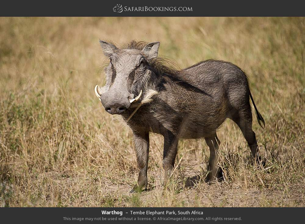 Warthog in Tembe Elephant Park, South Africa