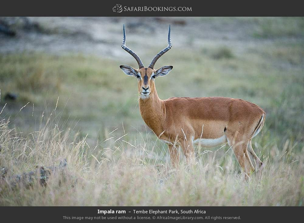 Impala ram in Tembe Elephant Park, South Africa