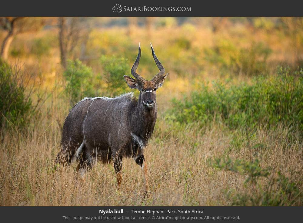 Nyala bull in Tembe Elephant Park, South Africa