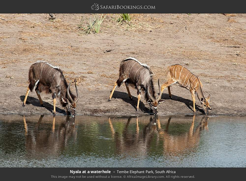 Nyala at a waterhole in Tembe Elephant Park, South Africa