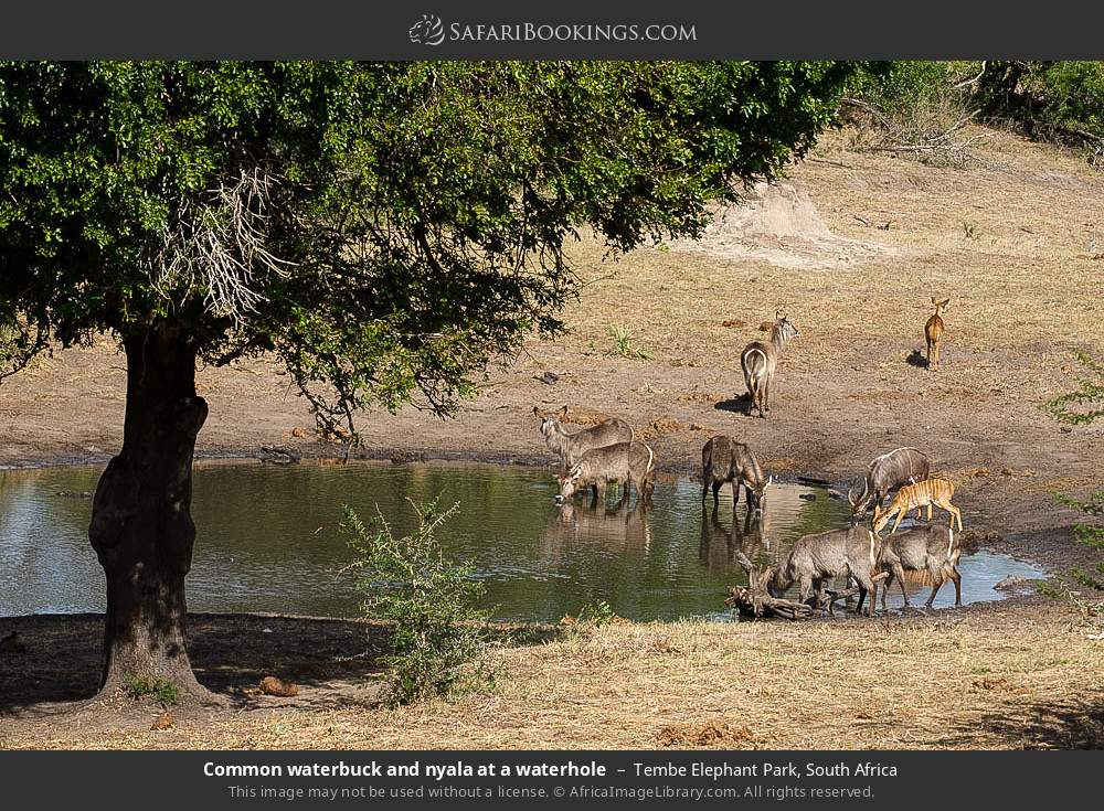 Common waterbuck and nyala at a waterhole in Tembe Elephant Park, South Africa