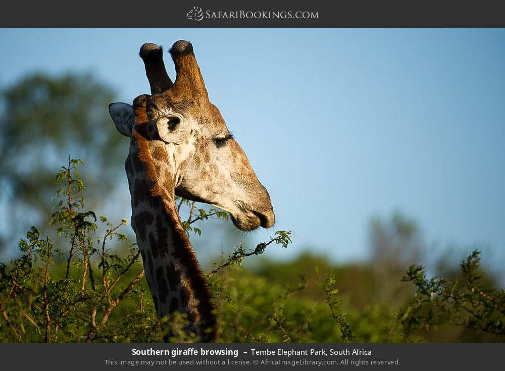 Southern giraffe browsing in Tembe Elephant Park, South Africa
