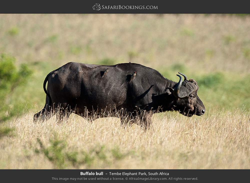 Buffalo bull in Tembe Elephant Park, South Africa